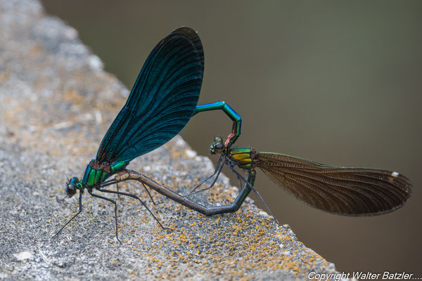 Das Paarungsrad der Libellen: Das Männchen packt das Weibchen am Hinterkopf...