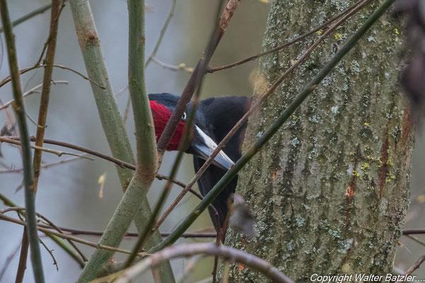 Schwarzspecht Männchen im Winter