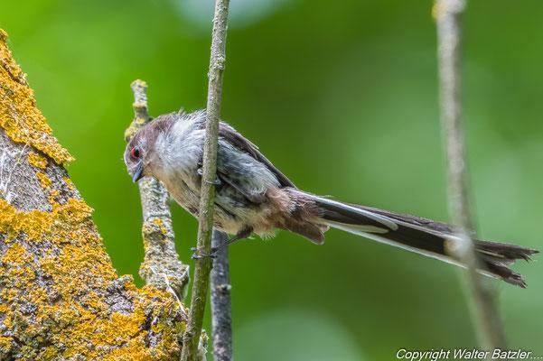 Junge Schwanzmeise (zu erkennen an den rötliche Augenlidern)