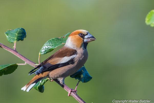 Kernbeißer Erwachsen, einfach ein toller Vogel.