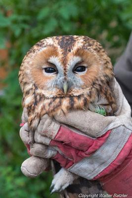....wurder der Waldkauz ärzlich untersucht und bis zur völligen Genesung in die Greifvogelauffangstation nach Karlsdorf gebracht.