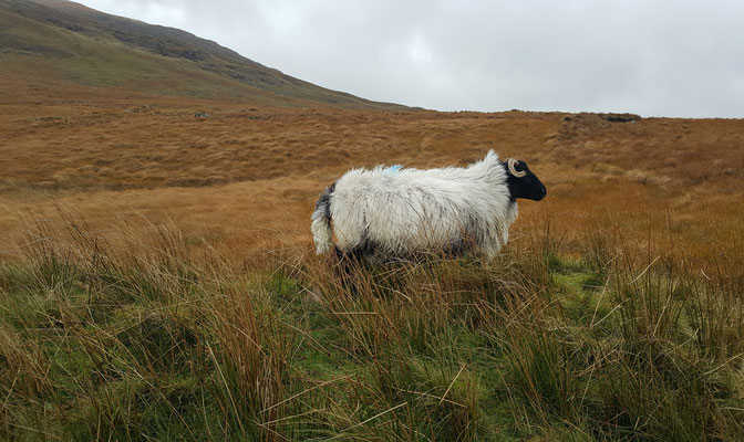 Hillside Lodge - Clifden, Connemara, Galway County, Ireland - sheep