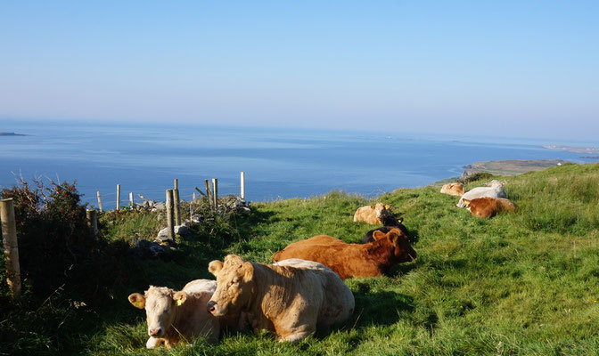 Hillside Lodge - Clifden, Connemara, Galway County, Ireland - Explore the area - cows