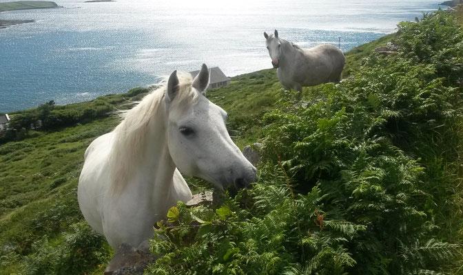 Hillside Lodge - Clifden, Connemara, Galway County, Ireland - horses