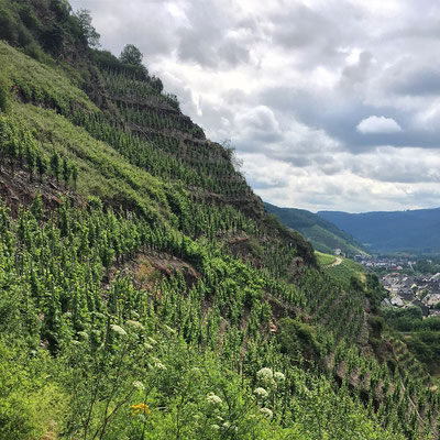 Vines in Mosel