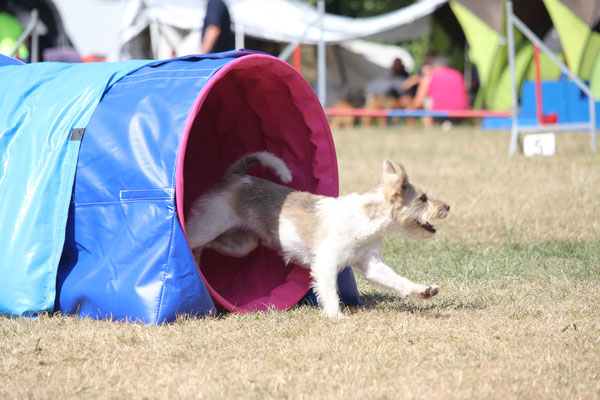 Delicia-Lin of the Agility Russellbande