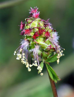 Sanguisorba minor, Kleiner Wiesenknopf