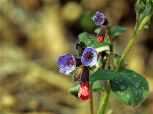 Pulmonaria officinalis, Geflecktes Lungenkraut