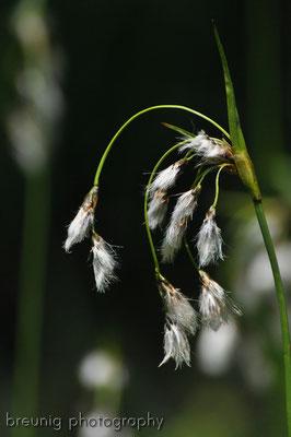 ammergauer alps: cotton grass eriophorum