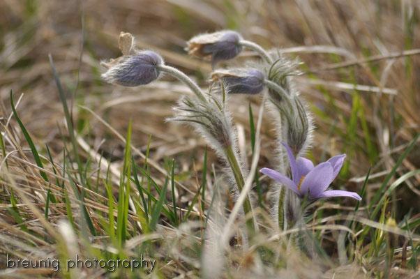 habitat echinger lohe: pulsatilla