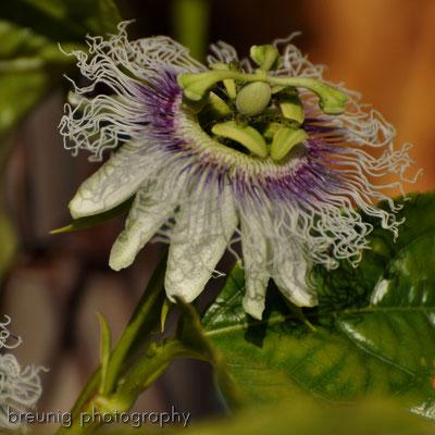 spanische botanik XI