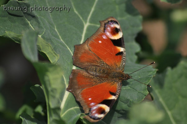 habitat echinger lohe: peacock butterfly