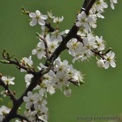 habitat echinger lohe: prunus spinosa in bloom