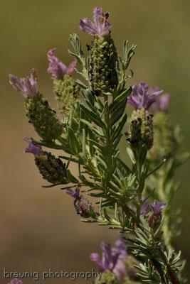 spanische botanik IX