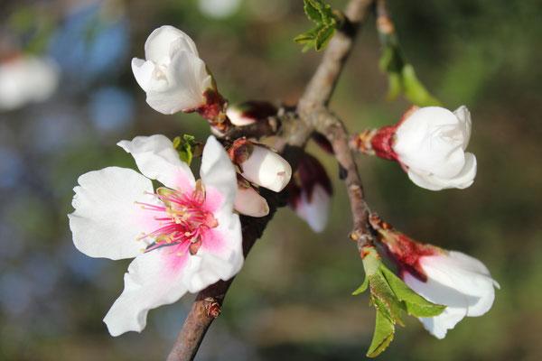 Kirschblüte am Neusiedlersee