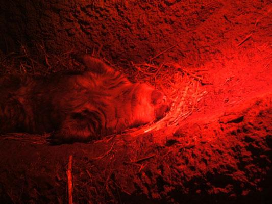 wombat - schlafend.