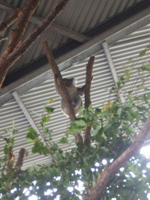 endlich Koalas sehen -