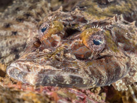 Crocodile fish - Milne Bay