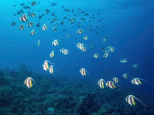 Red sea bannerfishes