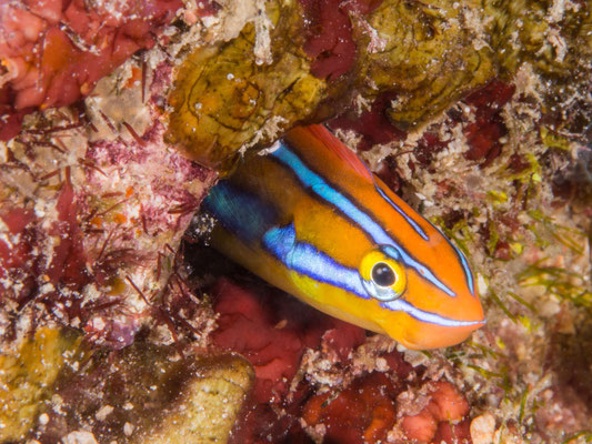 Twostripe blenny, orange form (Plagiotremus rhinorhynchos)