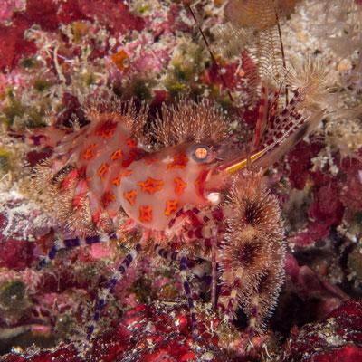 Marble shrimp