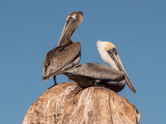 Pelicans, Isla Lobos, near La Paz