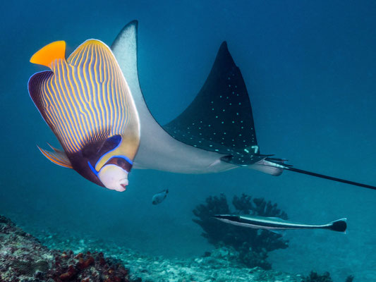 Angelfish photobombs the eagle ray