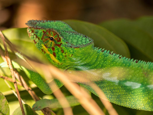 Chameleon male - Lokobe nature reserve, Nosy Be, Madagascar