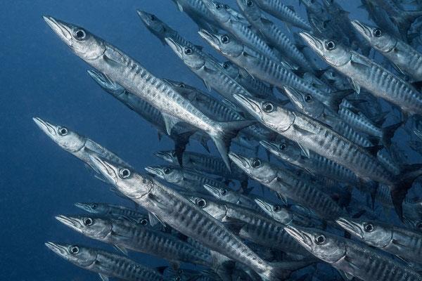 Barracudas - Kimbe Bay