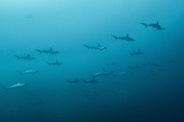 School of teenage hammer head sharks, Cabo San Lucas