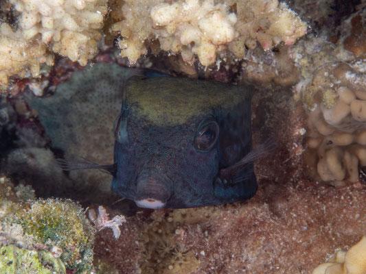 Red sea boxfish