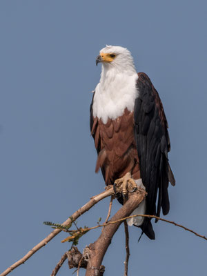 Fish eagle, Akagera NP, Rwanda