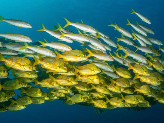 Schooling fish swarm, Cabo San Lucas