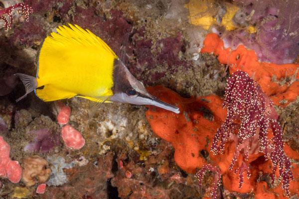Butterfly fish - Kimbe Bay