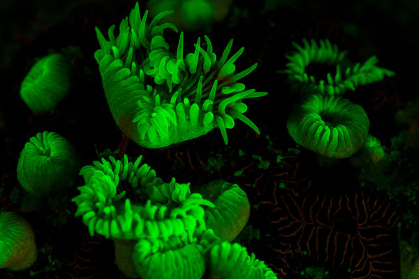 Corals under UV light