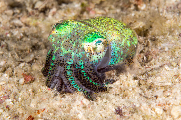 Bobtail squid – Euprymna berryi