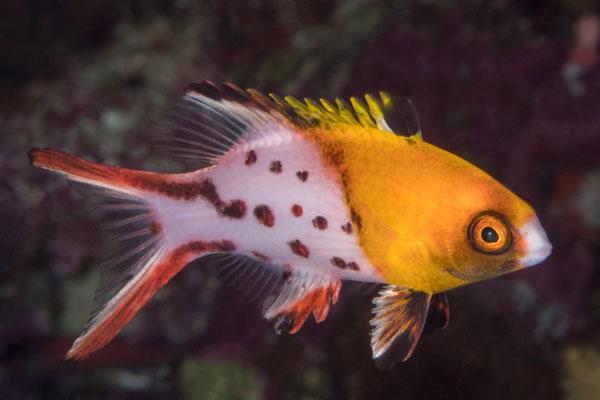 Juvenile Sweetlip - Milne Bay