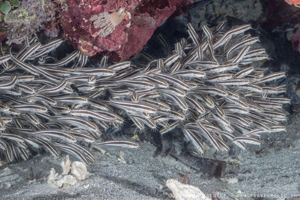 Striped catfish school