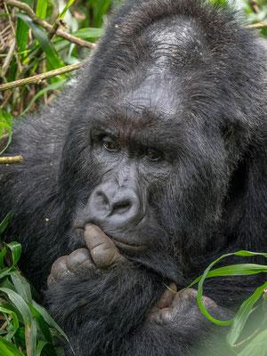 Mountain Gorillas, Virunga National Park, DRC