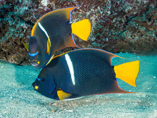 Angelfishes, Cabo San Lucas