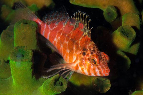 Threadfin hawkfish – Cirrhitichthys aprinus