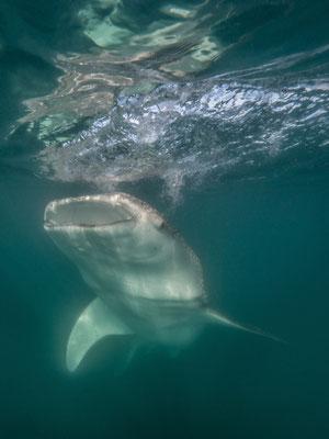 Whale shark, La Paz