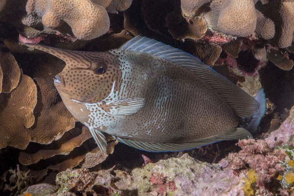 Short nose unicornfish (Naso brevirostris)