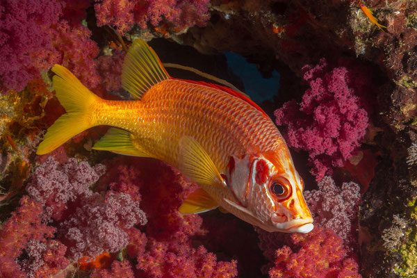 Sabre Squirrelfish [Sargocentron spiniferum]