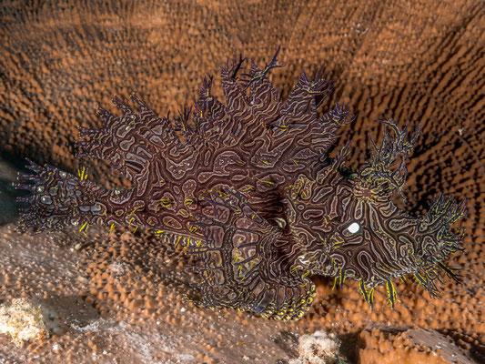 Lacey scorpionfish (Rhinopias) - Milne Bay