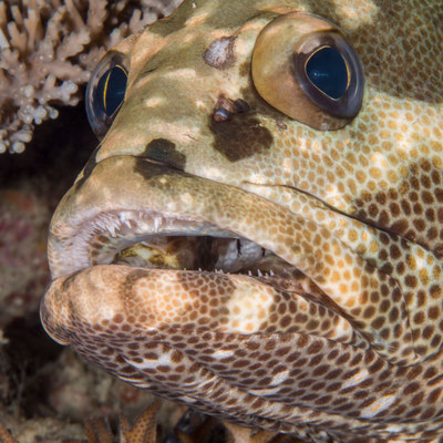 Grouper - Milne Bay