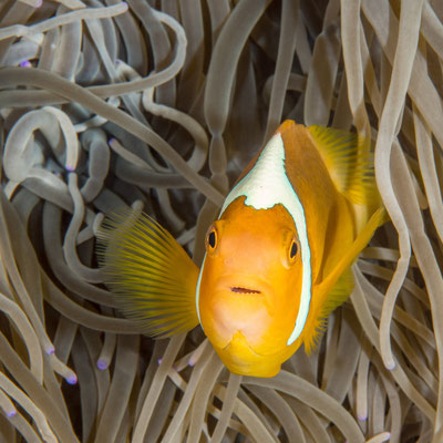 White-bonnet anemone fish - Milne Bay (endemic PNG / Solomons Islands)