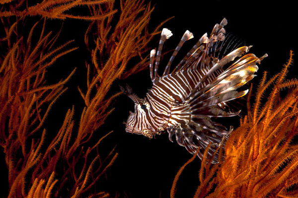 Lionfish in black corals