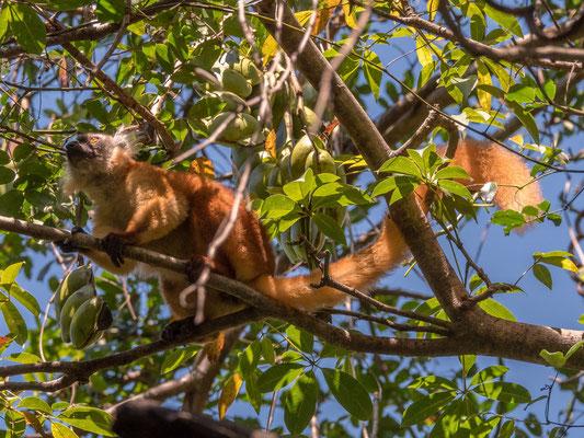 Maki (lemur) - Lokobe nature reserve, Nosy Be, Madagascar