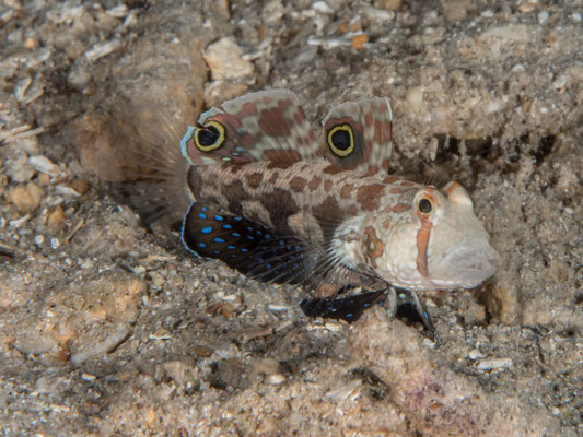 Signal or Two spot blenny